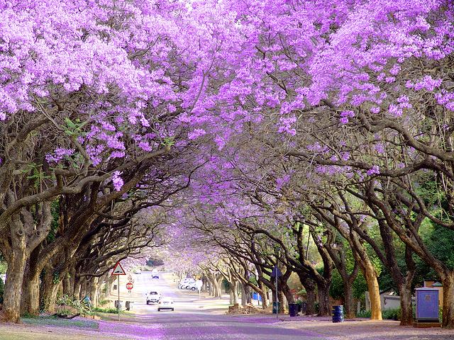Pretoria - Thành phố hoa phượng tím